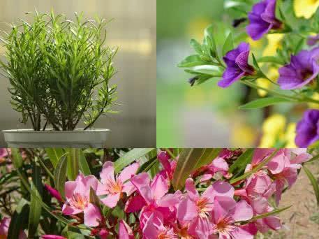 Oleander, Rosmarin Und Petunien
