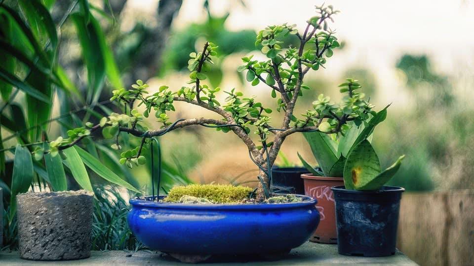 Japan im Wohnzimmer: Gewinne einen Bonsai